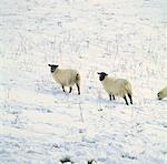 sheep standing in snow Stock Photo - Premium Royalty-Free, Artist: Photosindia, Code: 618-00440641