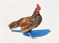 high angle view of a hen Stock Photo - Premium Royalty-Freenull, Code: 618-00443002