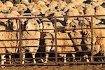 Sheep Ready for Shearing    Stock Photo - Premium Rights-Managed, Artist: R. Ian Lloyd, Code: 700-00452583