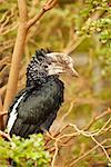 Silver-Cheeked Hornbill    Stock Photo - Premium Rights-Managed, Artist: Greg Stott, Code: 700-00459714