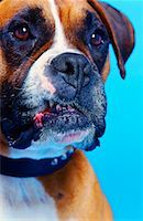 close-up of a bulldog with blood at the side of its mouth Stock Photo - Premium Royalty-Freenull, Code: 618-00464831