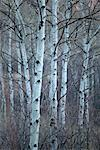 Aspen Trees in Winter, Aspen, Colorado, USA    Stock Photo - Premium Rights-Managed, Artist: Peter Barrett, Code: 700-00477455