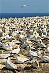 Gannets, Cape Kidnappers, Hawke's Bay, New Zealand    Stock Photo - Premium Rights-Managed, Artist: R. Ian Lloyd, Code: 700-00518802