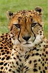 Portrait of Cheetah    Stock Photo - Premium Rights-Managed, Artist: Nora Good, Code: 700-00519415