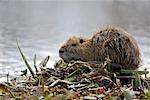 Nutria, Atchafalaya Basin, Louisiana, USA    Stock Photo - Premium Rights-Managed, Artist: Greg Stott, Code: 700-00523832
