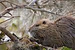 Nutria, Atchafalaya Basin, Louisiana, USA    Stock Photo - Premium Rights-Managed, Artist: Greg Stott, Code: 700-00523833
