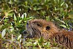 Nutria Swimming, Atchafalaya Basin, Louisiana, USA    Stock Photo - Premium Rights-Managed, Artist: Greg Stott, Code: 700-00523835