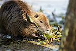 Nutria Chewing Plant, Atchafalaya Basin, Louisiana, USA    Stock Photo - Premium Rights-Managed, Artist: Greg Stott, Code: 700-00523836
