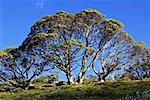 Gum Tree, Kosciuszko National Park, New South Wales, Australia    Stock Photo - Premium Rights-Managed, Artist: R. Ian Lloyd, Code: 700-00524774