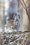Snowshoe Rabbit    Stock Photo - Premium Rights-Managed, Artist: Alec Pytlowany, Code: 700-00528273