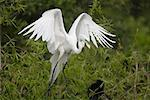 Great Egret, Venice Rookery, Venice, Florida, USA    Stock Photo - Premium Rights-Managed, Artist: Greg Stott, Code: 700-00529793
