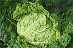 Close-Up of Cabbage    Stock Photo - Premium Rights-Managed, Artist: Nora Good, Code: 700-00546367