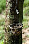 Dripping Sap from Rubber Tree