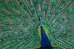 Peacock    Stock Photo - Premium Rights-Managed, Artist: Bill Frymire, Code: 700-00550292