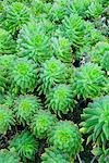 Aeonium Arboreum    Stock Photo - Premium Rights-Managed, Artist: Peter Griffith, Code: 700-00550957