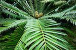Cycad, Los Angeles County Arboretum and Botanical Garden, Arcadia, California, USA    Stock Photo - Premium Rights-Managed, Artist: Peter Griffith, Code: 700-00551016