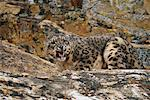 Hissing Snow Leopard, California, USA    Stock Photo - Premium Rights-Managed, Artist: F. Lukasseck, Code: 700-00551829
