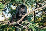 Howler Monkey, Pantanal, Mato Grosso, Brazil    Stock Photo - Premium Rights-Managed, Artist: F. Lukasseck, Code: 700-00552153