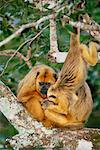 Howler Monkeys, Pantanal, Mato Grosso, Brazil    Stock Photo - Premium Rights-Managed, Artist: F. Lukasseck, Code: 700-00552156