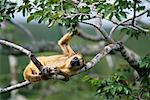 Black Howler Monkey in Tree, Pantanal, Mato Grosso, Brazil    Stock Photo - Premium Rights-Managed, Artist: F. Lukasseck, Code: 700-00552157