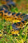 Paraguay Anaconda, The Pantanal, Mato Grosso, Brazil    Stock Photo - Premium Rights-Managed, Artist: F. Lukasseck, Code: 700-00552158