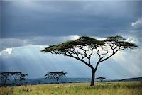 serengeti national park - Umbrella