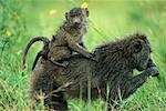 Mother and Baby Baboon, Serengeti National Park, United Republic of Tanzania