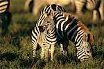 Mother and Baby Grevy's Zebra, Serengeti National Park, United Republic of Tanzania