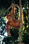 Orang-utan, Gunung Leuser National Park, North Sumatra, Indonesia    Stock Photo - Premium Rights-Managed, Artist: F. Lukasseck, Code: 700-00552327