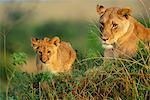 Mother Lion with Young Cub, Masai Mara National Reserve, Kenya    Stock Photo - Premium Rights-Managed, Artist: F. Lukasseck, Code: 700-00552336
