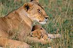 Mother Lion with Young Cub, Masai Mara National Reserve, Kenya    Stock Photo - Premium Rights-Managed, Artist: F. Lukasseck, Code: 700-00552337