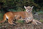 Mother Cougar and Babies, Bozeman, Montana, USA