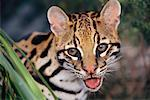 Close-up of Ocelot    Stock Photo - Premium Rights-Managed, Artist: F. Lukasseck, Code: 700-00552469