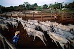 Farmers Herding Cattle, Caiman, Pantanal, Brazil    Stock Photo - Premium Rights-Managed, Artist: Mark Downey, Code: 700-00553791