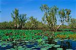 Yellow Water Billabong, Kakadu National Park, Northern Territory, Australia    Stock Photo - Premium Rights-Managed, Artist: Mark Downey, Code: 700-00553821