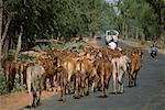 Herd of Cattle Walking Down Road, Rajasthan, India