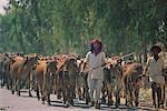 Men Herding Cattle, Rajasthan, India    Stock Photo - Premium Rights-Managed, Artist: Mark Downey, Code: 700-00554572