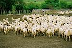 Sheep in Pen, South Island, New Zealand    Stock Photo - Premium Rights-Managed, Artist: Mark Downey, Code: 700-00556077