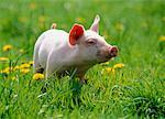 Piglet in Meadow    Stock Photo - Premium Rights-Managed, Artist: F. Lukasseck, Code: 700-00556203