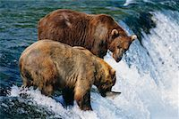 Grizzly Bears Catching Fish, Katmai National Park, Alaska, USA    Stock Photo - Premium Rights-Managednull, Code: 700-00560566