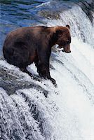Grizzly Bear Catching Fish, Katmai National Park, Alaska, USA    Stock Photo - Premium Rights-Managednull, Code: 700-00560567