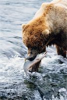 Grizzly Bears Catching Fish, Katmai National Park, Alaska, USA    Stock Photo - Premium Rights-Managednull, Code: 700-00560569
