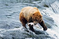 Grizzly Bears Catching Fish, Katmai National Park, Alaska, USA    Stock Photo - Premium Rights-Managednull, Code: 700-00560570