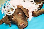 Dog Wearing Tiara and Feather Boa    Stock Photo - Premium Rights-Managed, Artist: Artiga Photo, Code: 700-00588922