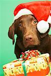 Portrait of Dog With Santa Hat And Christmas Gifts