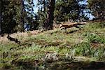 Wild fox chasing rabbit