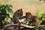 African leopard cubs playing