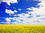 Canola Field, Trochu, Alberta, Canada    Stock Photo - Premium Rights-Managed, Artist: Roy Ooms, Code: 700-00607629