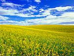 Canola Field, Trochu, Alberta, Canada    Stock Photo - Premium Rights-Managed, Artist: Roy Ooms, Code: 700-00607630