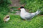 Arctic Tern Mother and Young, Farne Islands, England    Stock Photo - Premium Rights-Managed, Artist: F. Lukasseck, Code: 700-00608857
